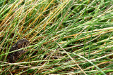 CANADA TOADLET IN GRASS.JPG