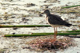 LESSER YELLOWLEGS 3.JPG