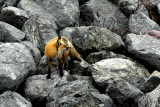 RED FOX IN JASPER