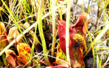 NORTHERN PITCHER PLANTS