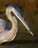Heron's Little Catch