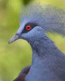Western Crowned-Pigeon