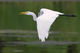 Happy Egret Flight