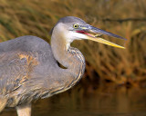 Blue Heron's  Catch