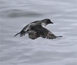 Cassin's Auklet in flight