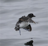 Cassin's Auklet take-off
