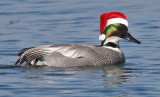 Falcated Claus