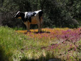 1Cow in the clover.jpg