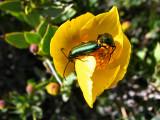 1Green Beetles.jpg