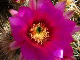 1Hedgehog Blossom.jpg