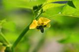 1Tomatillo Blossom.jpg