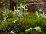 1Cladonia Towers.jpg
