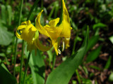 1glacier lily.jpg