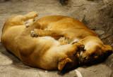 Lion Habitat at MGM Grand.jpg