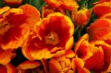 Tulips at Bellagio