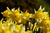 no spring without daffs - a wild bunch
