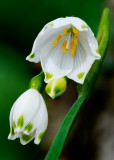 Spring snowflake - Leucojum vernum