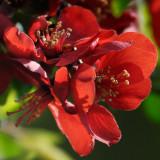 Quince camelia japonica
