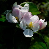 Blenheim Orange blossom