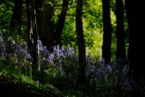 bluebells otherwise