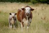 exhibit 1, a fine herd of Longhorn cattle grazing the wet meadows