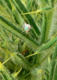 Terellia longicauda
