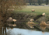 sheep reflections...