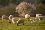 sheepscape 3