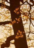 study in oak