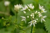 wild garlic tamed