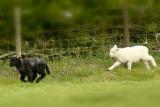 Herdwick lamb races