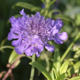 Field Scabious - Knautia Arvensis