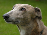Zena, a rescue greyhound on the occasion of weekly fishmongers visit
