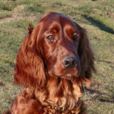 Mart - young red setter, that colour! One of my first DSLR shots