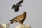 Steppe Eagle IMG_0286
