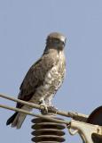 Short-toed Eagle IMG_0208