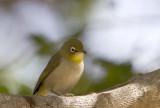 Abyssinian White-eye (Abyssinsk glasögonfågel)  Zosterops abyssinicus -  IMG_0198
