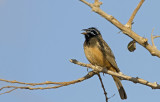 African Rock Bunting IMG_0557