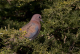 Laughing Dove IMG_0554
