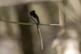 African Paradise Flycatcher IMG_0004