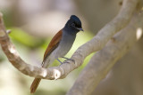 African Paradise Flycatcher IMG_0117