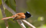 African Paradise Flycatcher IMG_0125