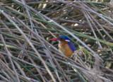 Malachite Kingfisher IMG_0752