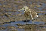 Squacco Heron ?  (Rallhäger) Ardeola ralloides - IMG_0791