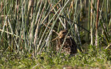 Pintail Snipe (Sibirisk beckasin) Gallinago stenura IMG_0770