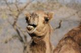 Smiling dromedary IMG_5751