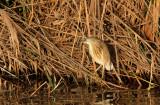 Squacco Heron (Rallhäger) Ardeola ralloides - IMG_9691