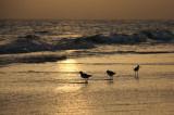 Greenshanks at sunset IMG_5700