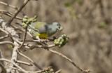 Bruce´s Green-Pigeon (Gulbröstad grönduva) Treron waalia  IMG_9939
