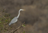 Grey Heron (Gråhäger) Ardea cinerea IMG_9925
